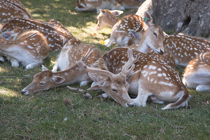 Deer in Lyon Zoo.jpg