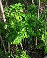 Delissea rhytidosperma (5465527745).jpg