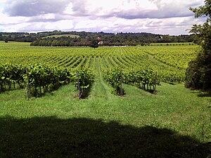 Denbies Wine Estate - Vineyard in July 2009