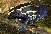 Одина из форм лягушек Dendrobates t. tinctorius
