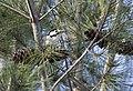 Dendrocopos syriacus - Syrian Woodpecker, Adana 2017-12-10 02-1.jpg
