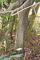 Dendropanax trifidus (trunk).jpg