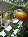 Dendy's Farm Tomatoes.jpg