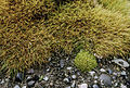Deschampsia antarctica and Colobanthus quitensis.jpg