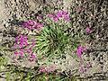 Dianthus deltoides sl20.jpg