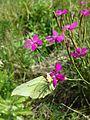 Dianthus deltoides sl5.jpg