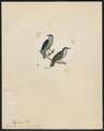Dicaeum nigrum - 1820-1860 - Print - Iconographia Zoologica - Special Collections University of Amsterdam - UBA01 IZ19000293.tif