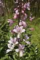Dictamnus albus LC0402.jpg