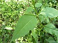 Dipsacus pilosus leaf (01).jpg