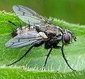 Diptera-Tachinidae-Ramonda-spathulata-201205160180.JPG