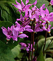 Dodecatheon jeffreyi 5898 filtered.jpg