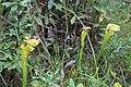 Doerun Pitcherplant Bog yellow flytrap 5.jpg
