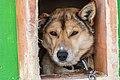 Dog head, Alaska 04.jpg