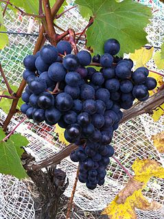 Dolcetto varietal