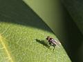 Dolichopodidae (Diptera) (8977193063).jpg