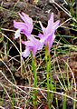 Dragon's mouth Orchid, Western Pond.jpg