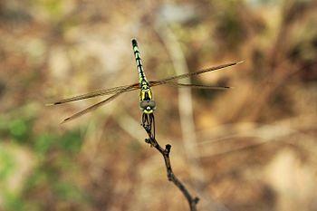 Dragon fly sitting.jpg