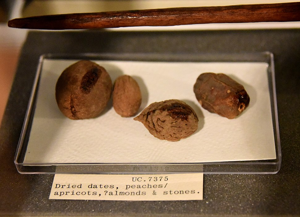 Dried date, peach, apricot, and stones. From Lahun, Fayum, Egypt. Late Middle Kingdom. The Petrie Museum of Egyptian Archaeology, London