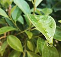 Drops of water on leaf.jpg