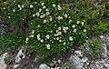 Dryas octopetala Dantersasc habitat.jpg