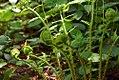 Dryopteris marginalis 3zz.jpg