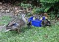 Duck & Duckling's (11378266973).jpg