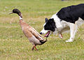 Duck herding dog (5845713752).jpg