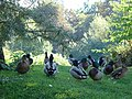 Ducks by the millpond - geograph.org.uk - 1163210.jpg