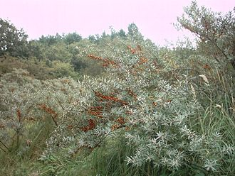 Zuid-Kennemerland National Park - Sea buckthorn in the park