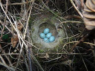 Dunnock - Dunnock nest and eggs
