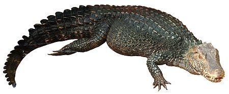 A full-body image of Cuvier's dwarf caiman to demonstrate scale arrangement