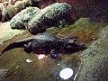 Dwarf crocodile 01.JPG