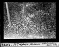 ETH-BIB-St. Triphon, Bärlauch-Dia 247-12071.tif