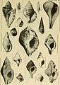 East coast marine shells - descriptions of shore mollusks together with many living below tide mark, from Maine to Texas inclusive, especially Florida, with more than one thousand drawings and (20944744099).jpg