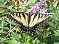 Eastern Tiger Swallowtail (Papilio glaucus) 2019.jpg