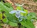 Ecbolium linneanum 70.jpg