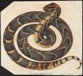Echidna arietans - 1700-1880 - Print - Iconographia Zoologica - Special Collections University of Amsterdam - UBA01 IZ11700107.tif