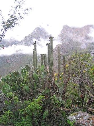 Echinopsis pachanoi - Echinopsis pachanoi, San Pedro Cactus, the tall cactus in the mid-foreground, in its natural habitat in Peru