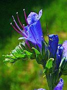 Echium vulgare 002.JPG