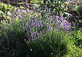 Echter Lavendel (Lavandula angustifolia) (9480911322).jpg