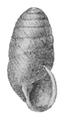 Edentulina moreleti shell.png