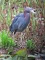 Egretta caerulea Garza azul Little Blue Heron (6227629535).jpg