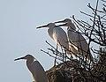 Egretta thula, flock, Mexico (24009202784).jpg