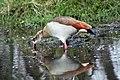 Egyptian goose, Kruger National Park (14800711638).jpg