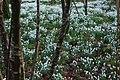 Eirlysiau ar Lan Afon Dwyfor - Snowdrops on the Banks of Afon Dwyfor - geograph.org.uk - 684045.jpg