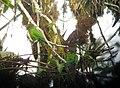 El Oro Parakeet.jpg