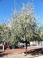 Elaeagnus angustifolia Habitus 2010-10-26 ArboretoParqueElPilarCiudadReal.jpg