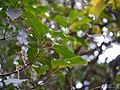Elaeocarpus oblongus (16711464154).jpg