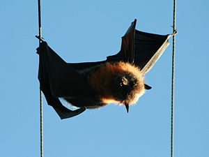 Grey-headed flying fox - A grey-headed flying fox electrocuted between electricity transmission lines in suburban Sydney