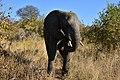 Elephant, Ruaha National Park (15) (28695014546).jpg
